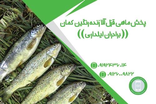 پخش ماهی قزل آلا زنده رنگین کمان